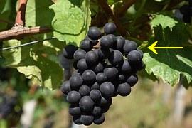 grape-1688600__180